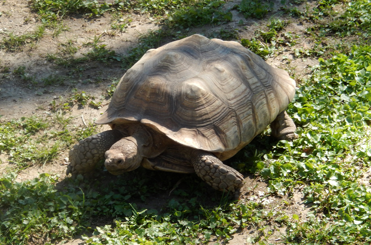 MarylandBaltimoreZoospurthightortoise2014a750