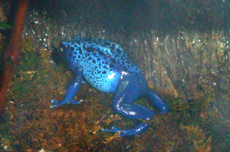 bluedartpoisonfrog
