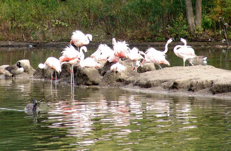 optchilianflamingobronxzoo2