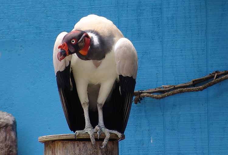 optkingvulture-1