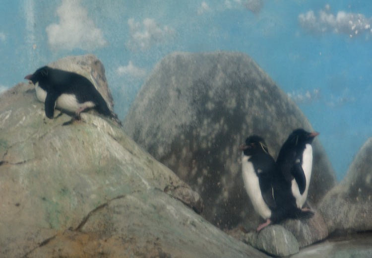 optrockhopperpenguinssczoo