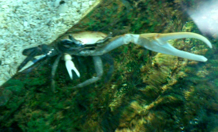 optfiddlercrab5