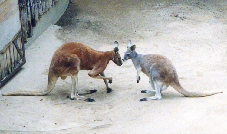 Kangaroos Zoo Kingdoms