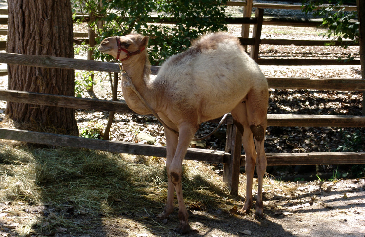 optblankparkzoocamelcalf